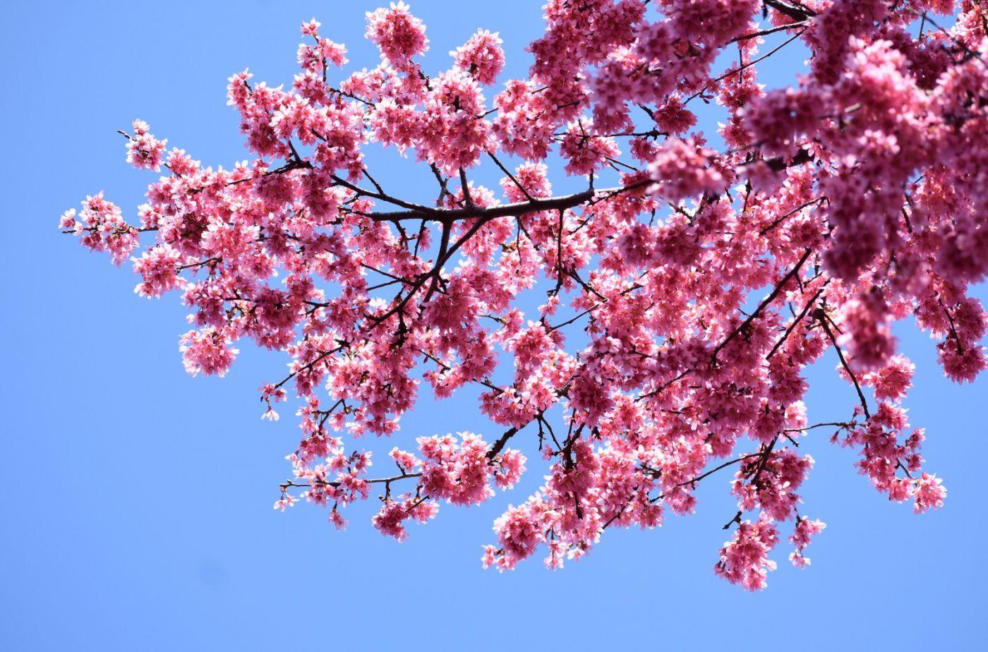 法拉盛可乐娜公园樱花盛开_图1-22
