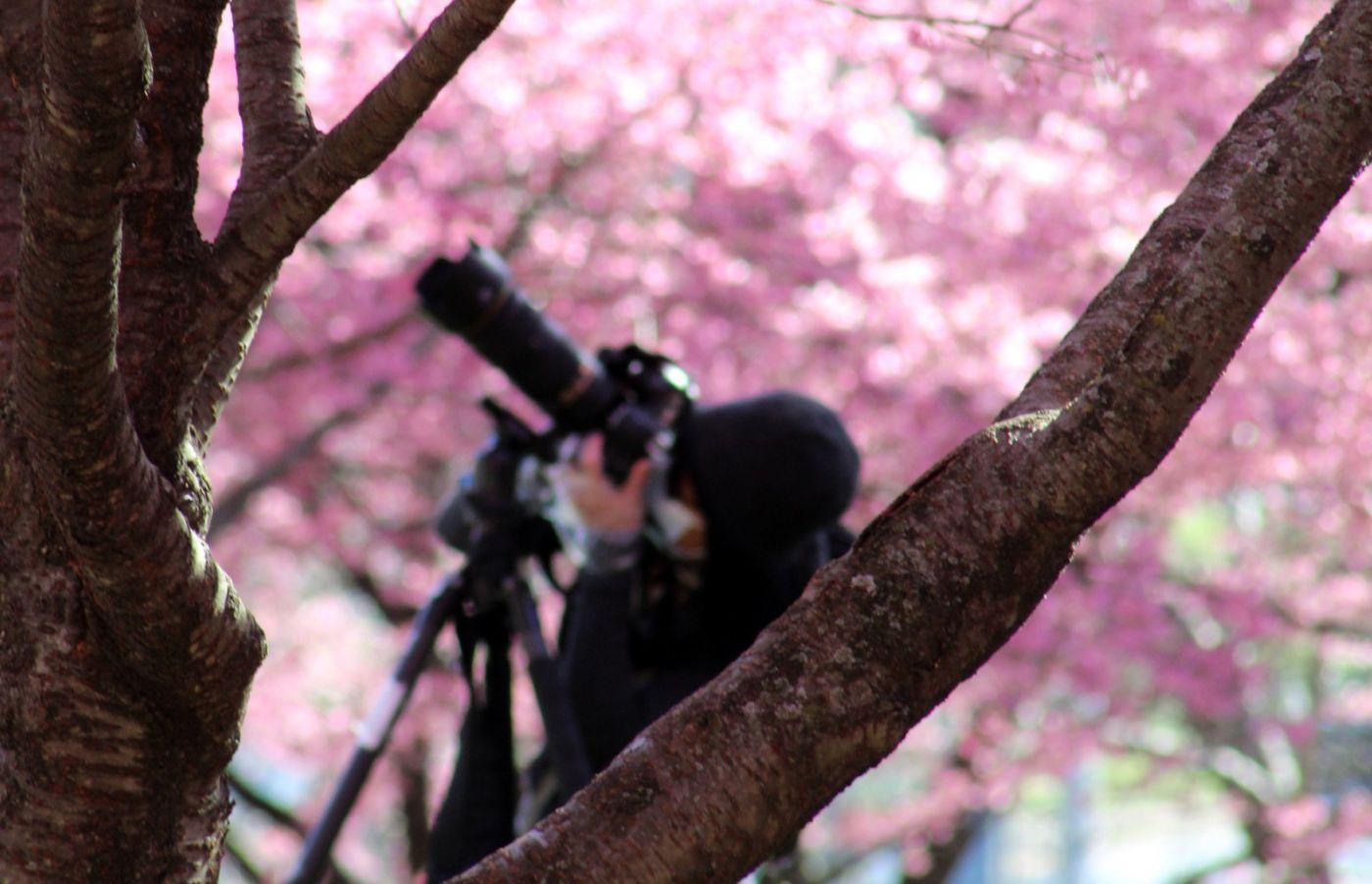 法拉盛可乐娜公园樱花盛开_图1-25
