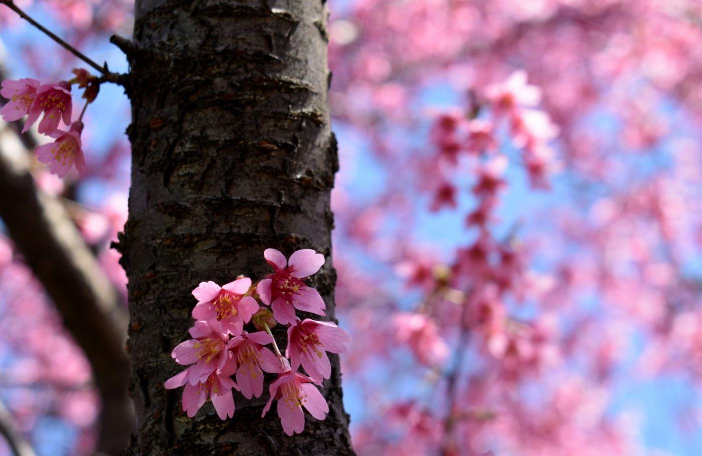 法拉盛可乐娜公园樱花盛开_图1-26