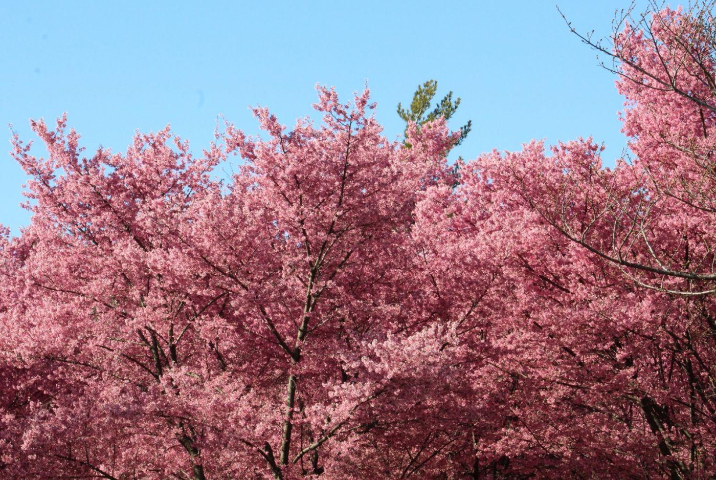 法拉盛可乐娜公园樱花盛开_图1-28