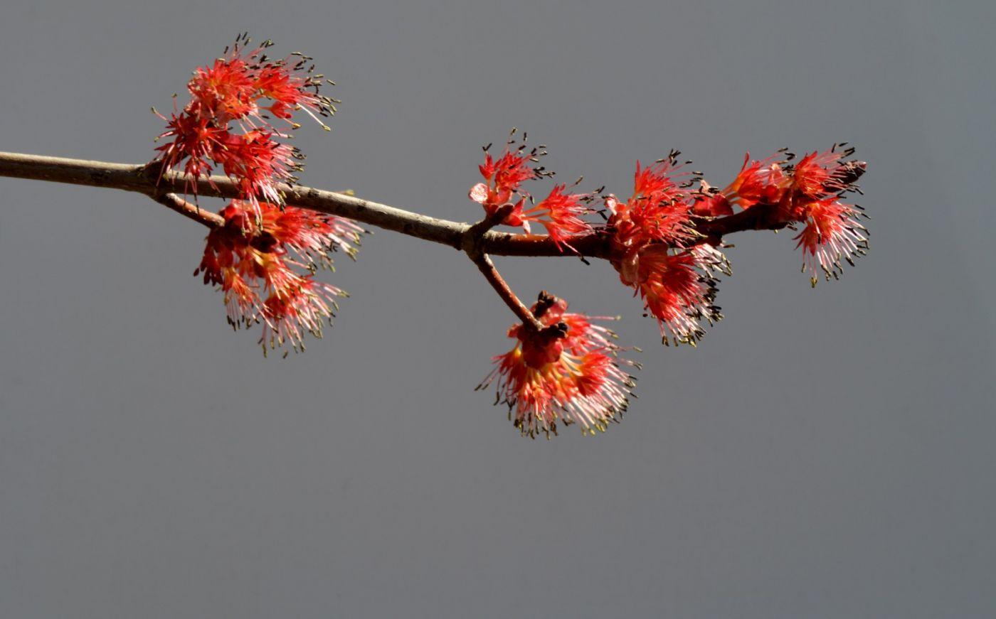 美国红枫开花_图1-11