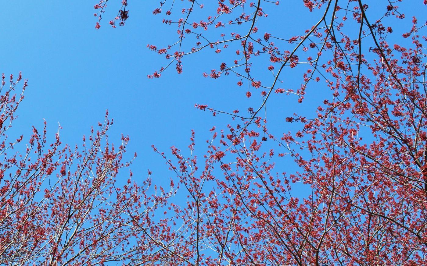 美国红枫开花_图1-22