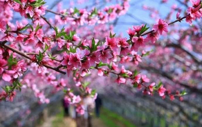 桃花杏花盛开春满园,正是情人约会快乐时,甜蜜约会技巧_图1-1