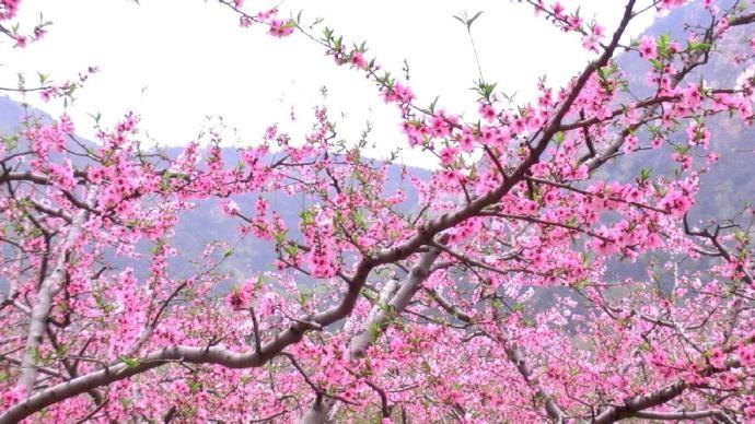 桃花杏花盛开春满园,正是情人约会快乐时,甜蜜约会技巧_图1-3