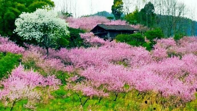 桃花杏花盛开春满园,正是情人约会快乐时,甜蜜约会技巧_图1-5