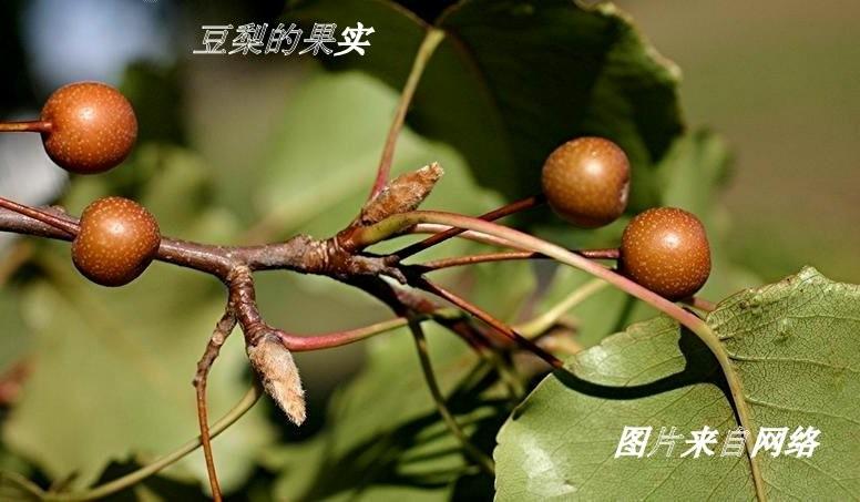 豆梨花开_图1-23