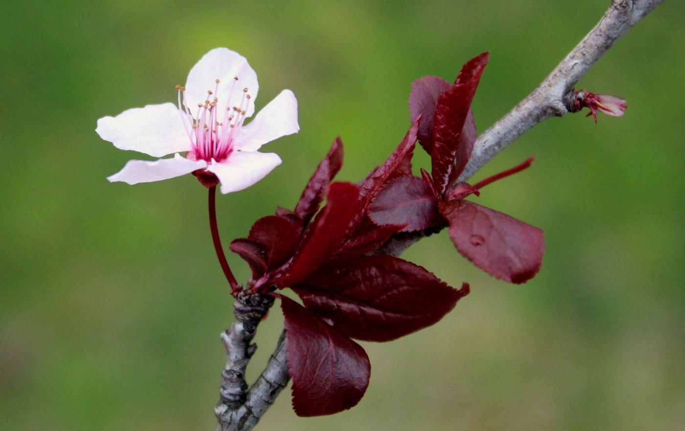 红叶梨开花