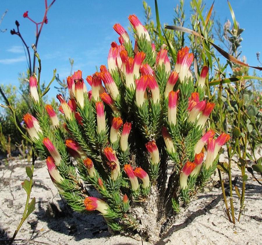 地生植物Lechenaultia属_图1-7