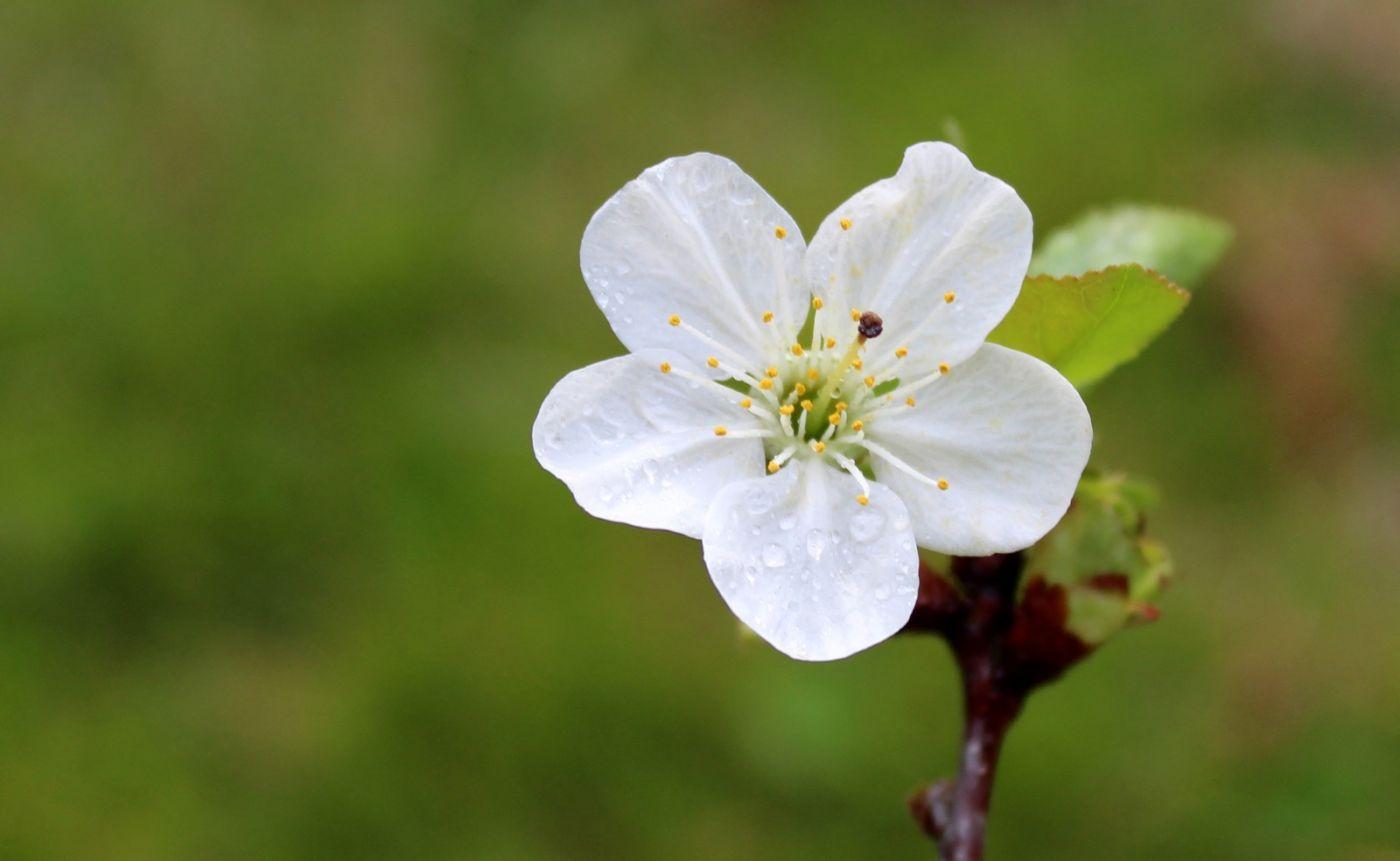 欧洲樱桃花开_图1-1