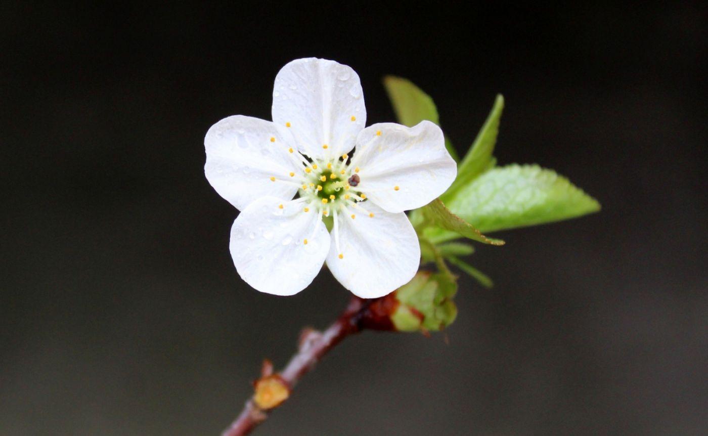 欧洲樱桃花开_图1-2