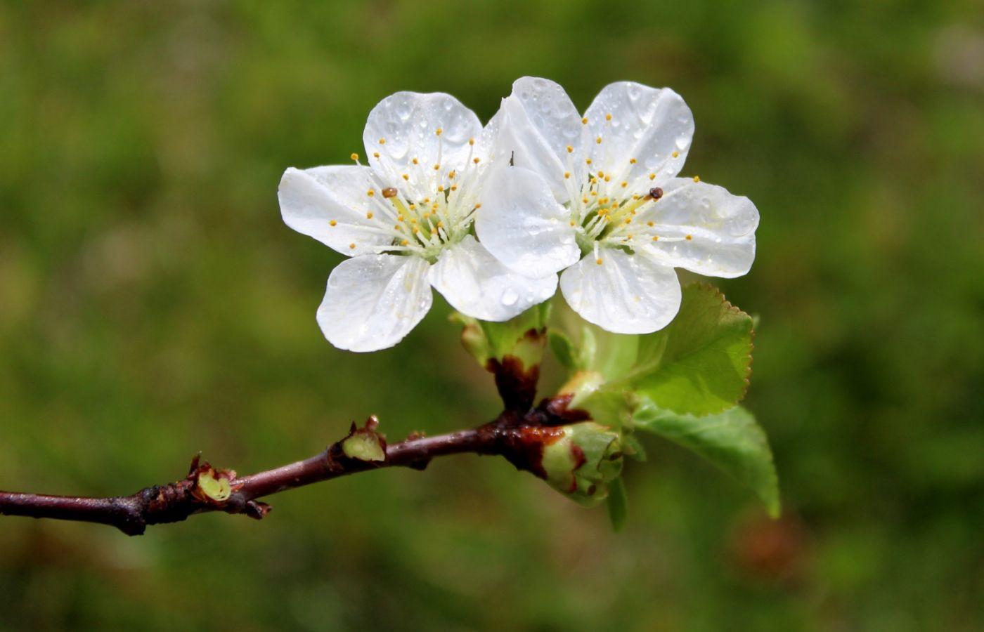 欧洲樱桃花开_图1-7