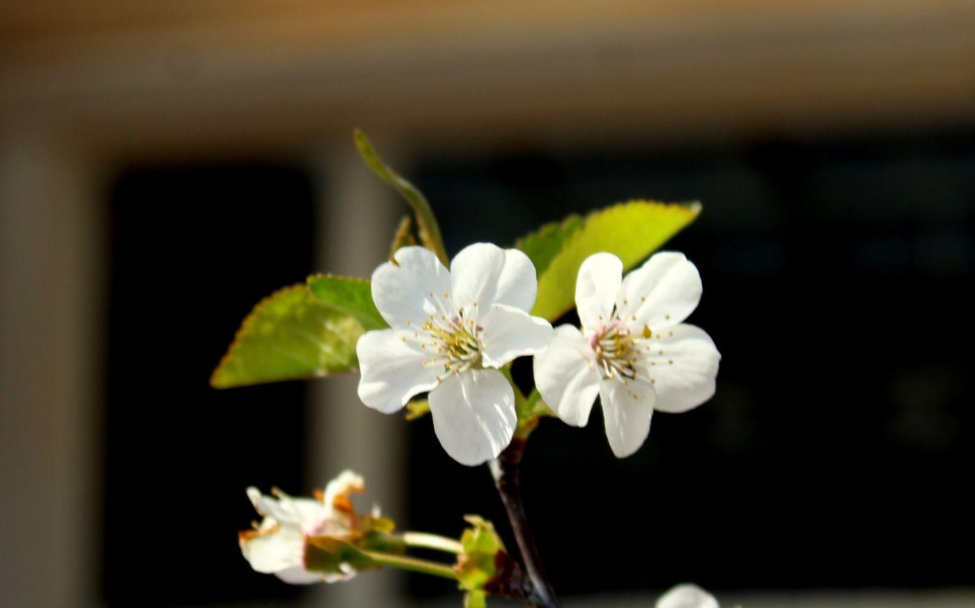 欧洲樱桃花开_图1-9