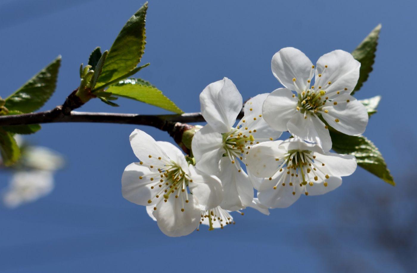 欧洲樱桃花开_图1-12