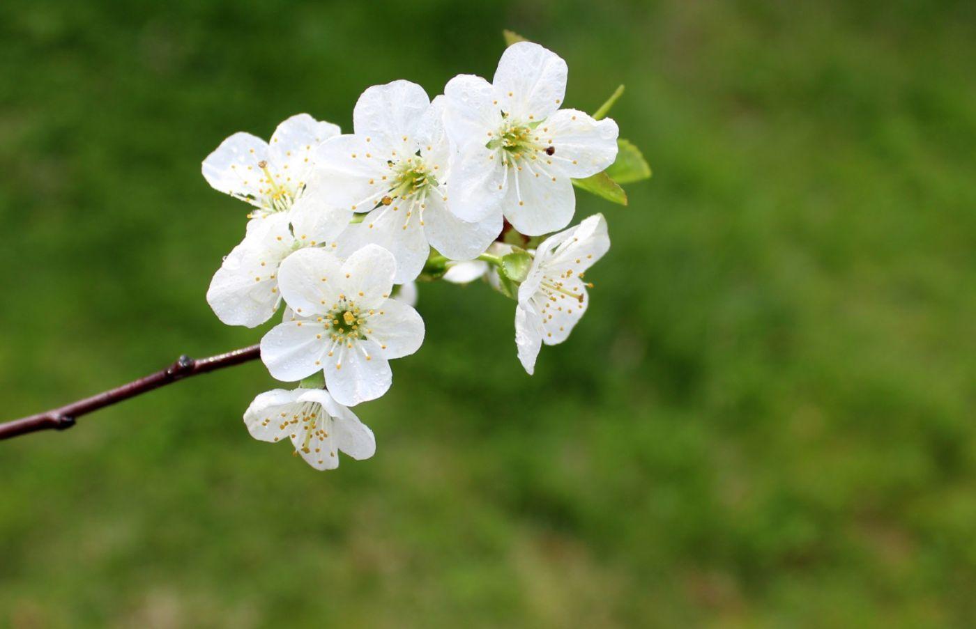 欧洲樱桃花开_图1-13