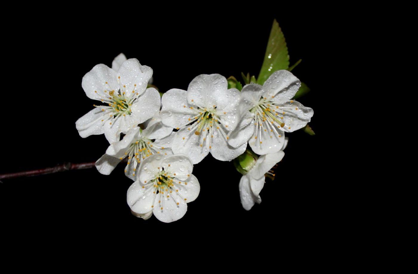 欧洲樱桃花开_图1-15