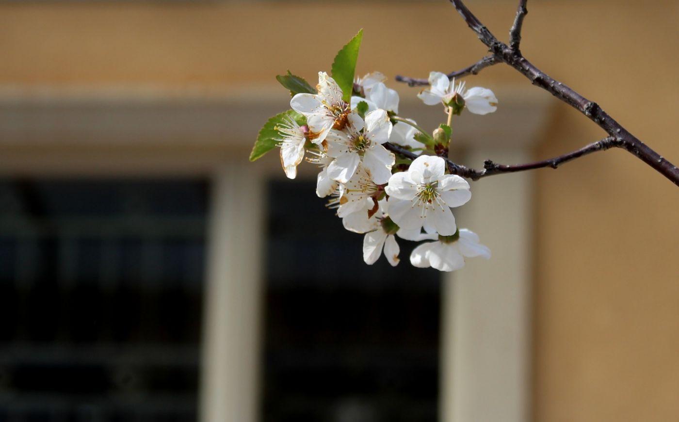 欧洲樱桃花开_图1-16