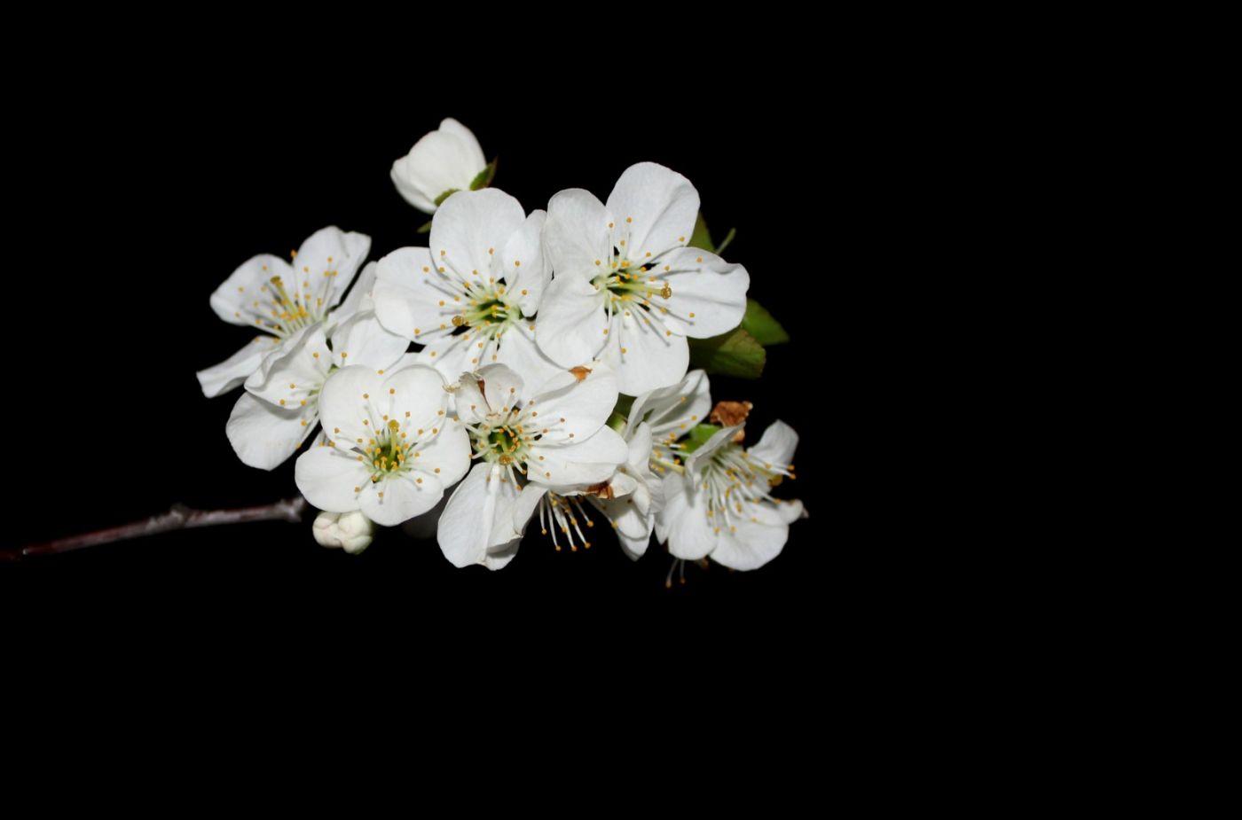 欧洲樱桃花开_图1-17