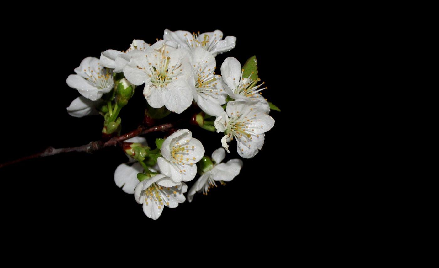 欧洲樱桃花开_图1-20