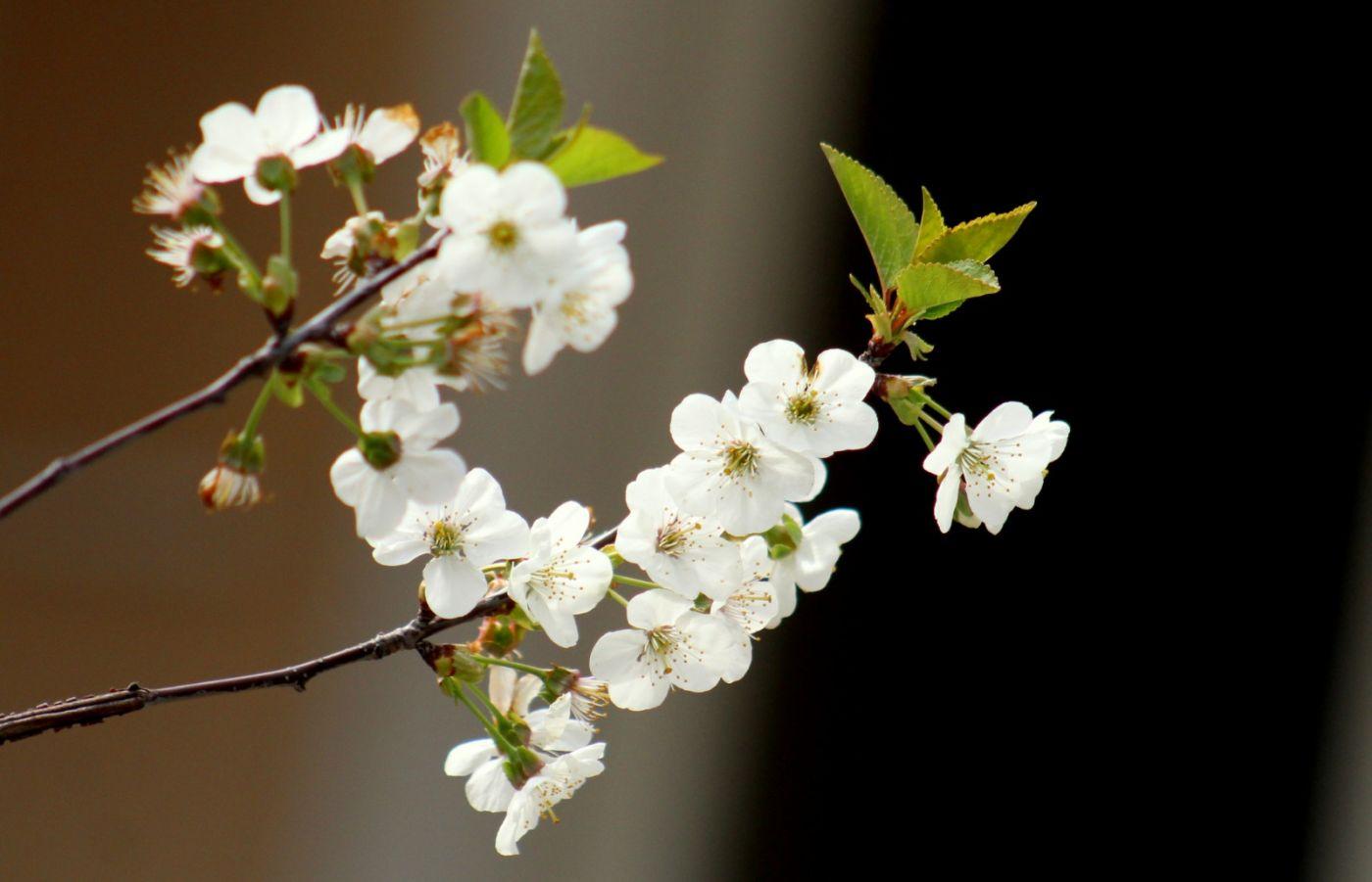 欧洲樱桃花开_图1-21
