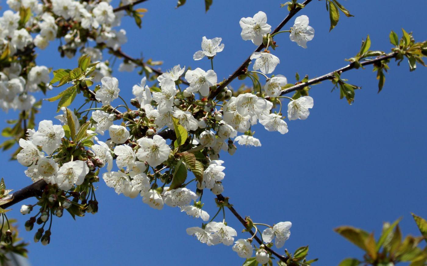 欧洲樱桃花开_图1-22
