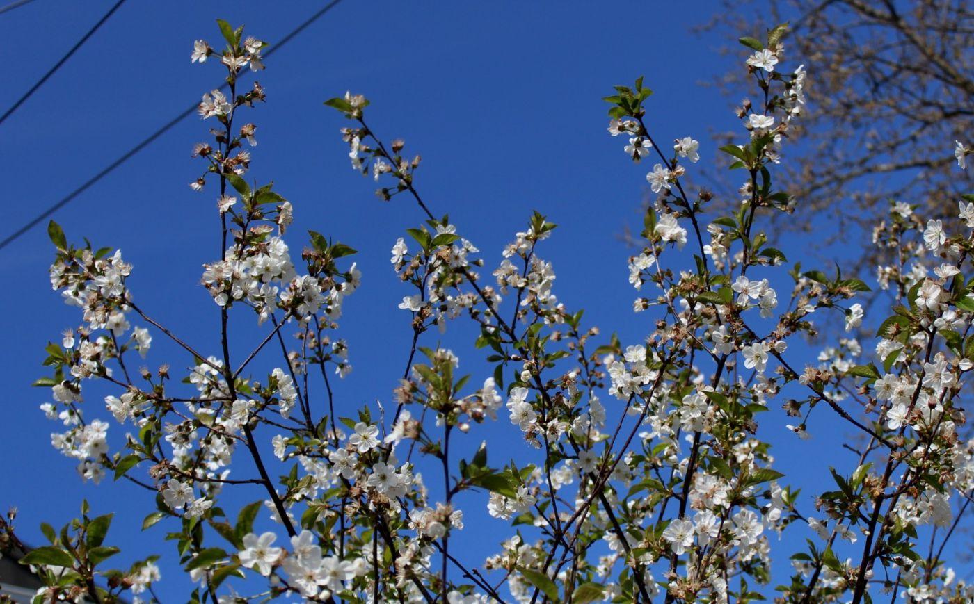 欧洲樱桃花开_图1-23