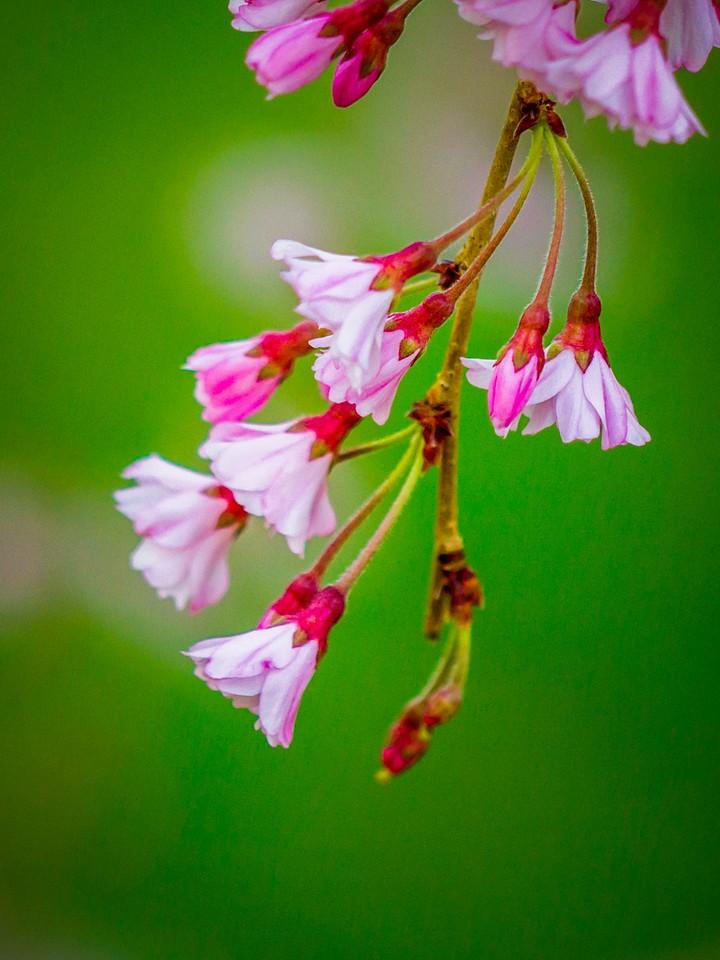樱花,早春三月_图1-25