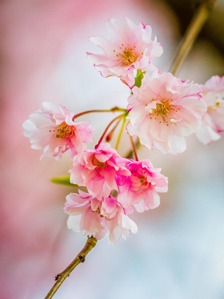 樱花,早春三月_图1-26