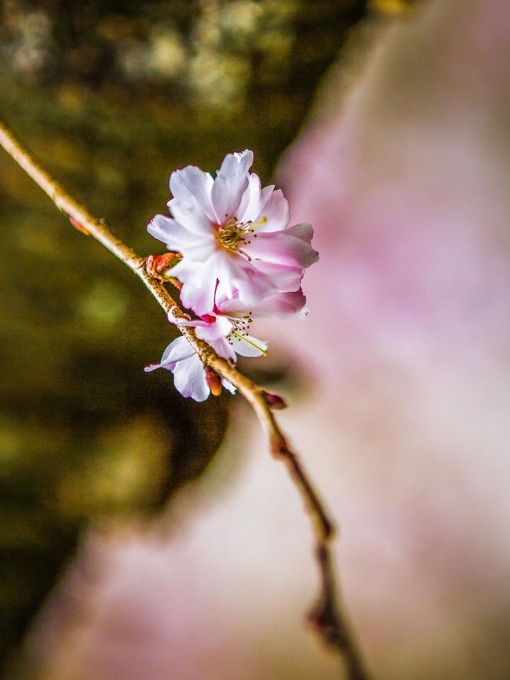 樱花,早春三月_图1-28