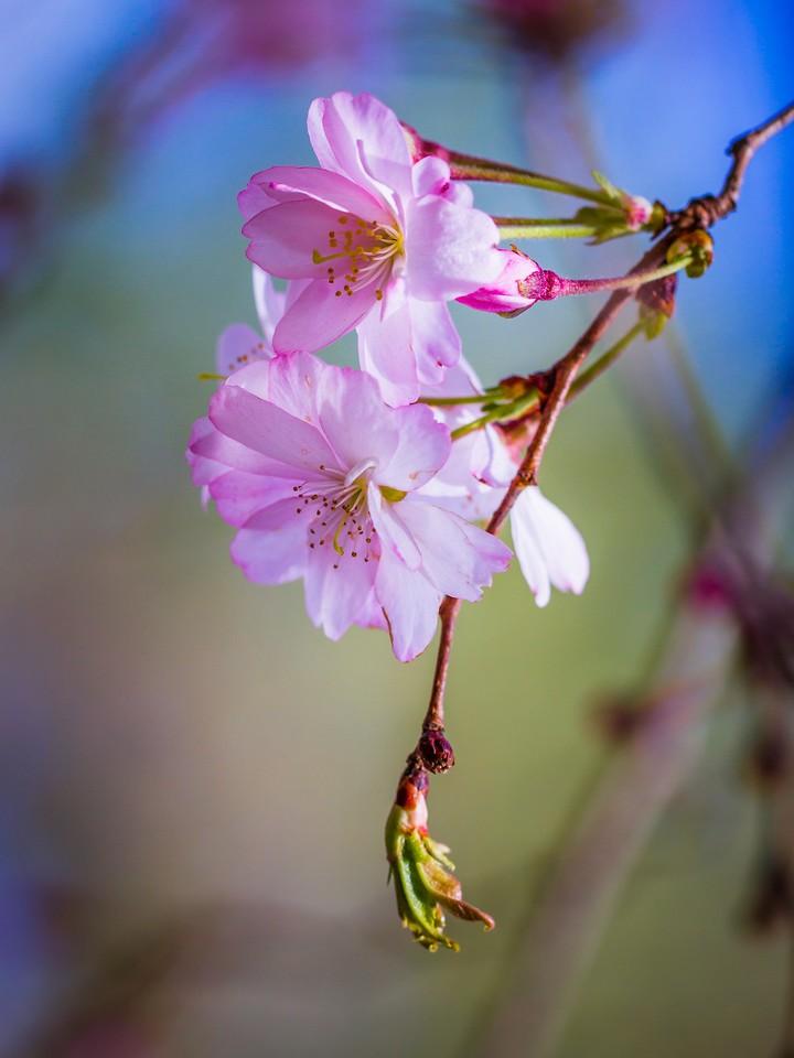 樱花,早春三月_图1-17
