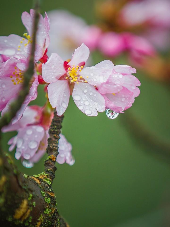 樱花,早春三月_图1-23