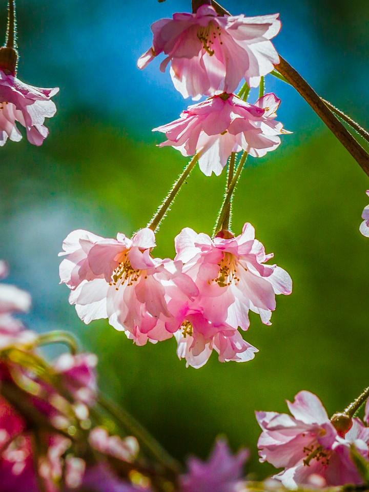 樱花,早春三月_图1-20
