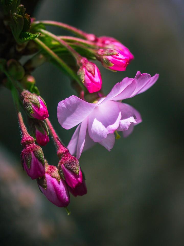 樱花,早春三月_图1-16