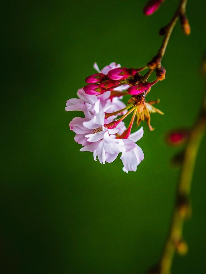 樱花,早春三月_图1-19