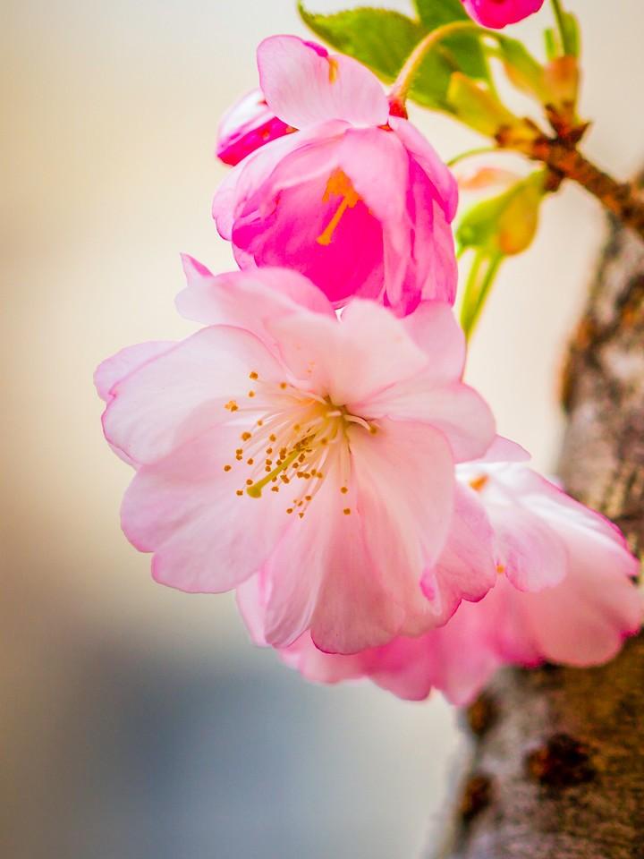 樱花,早春三月_图1-22