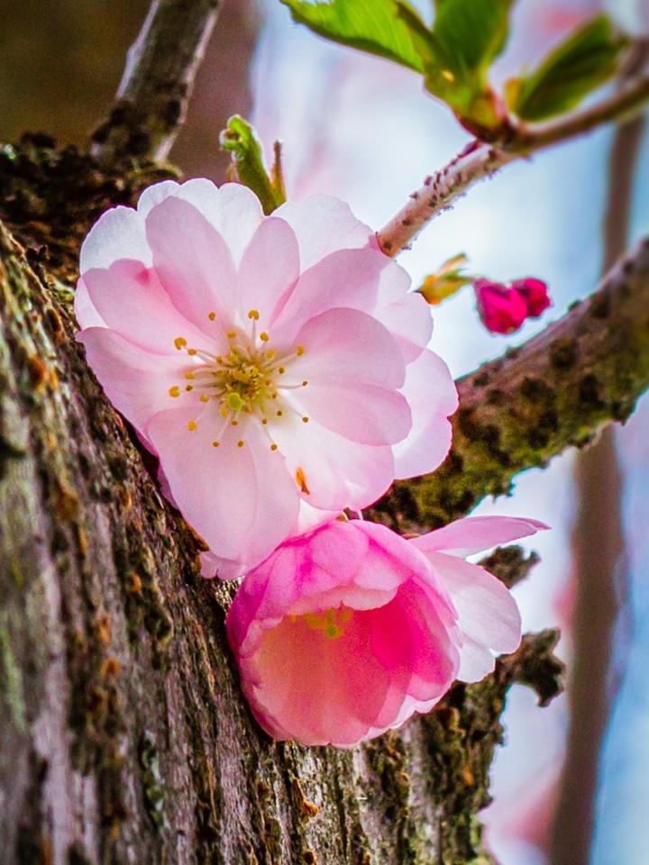 樱花,早春三月_图1-13