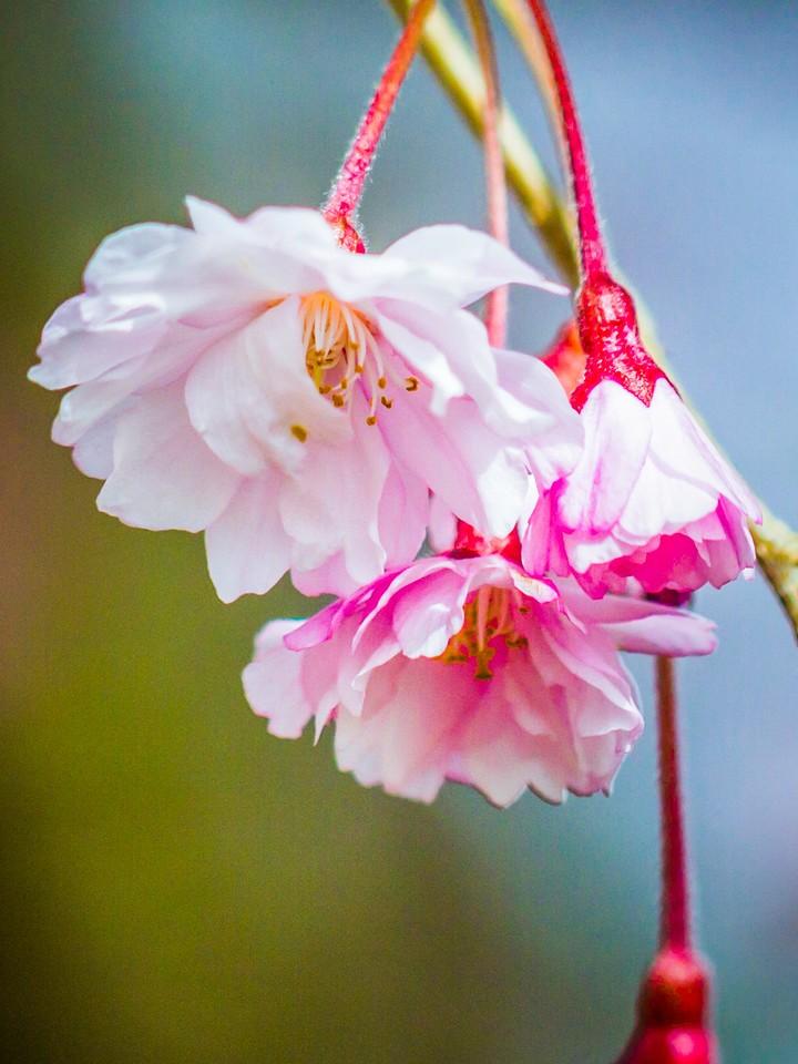 樱花,早春三月_图1-9