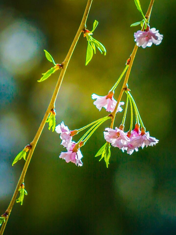 樱花,早春三月_图1-10