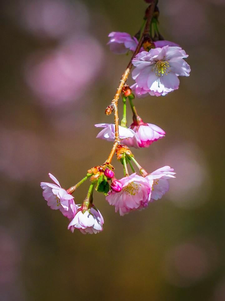 樱花,早春三月_图1-12
