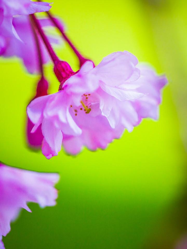 樱花,早春三月_图1-8