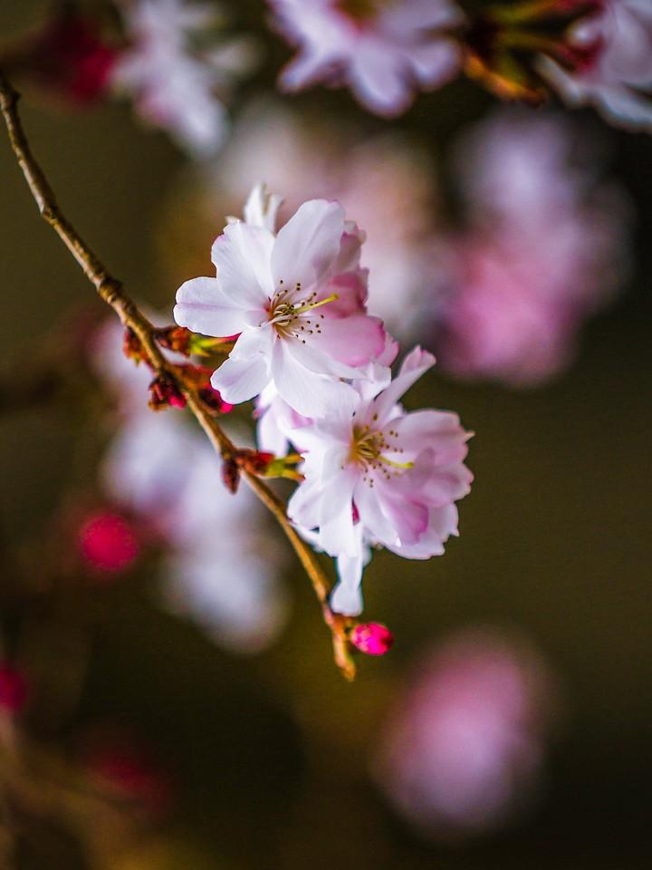樱花,早春三月_图1-7