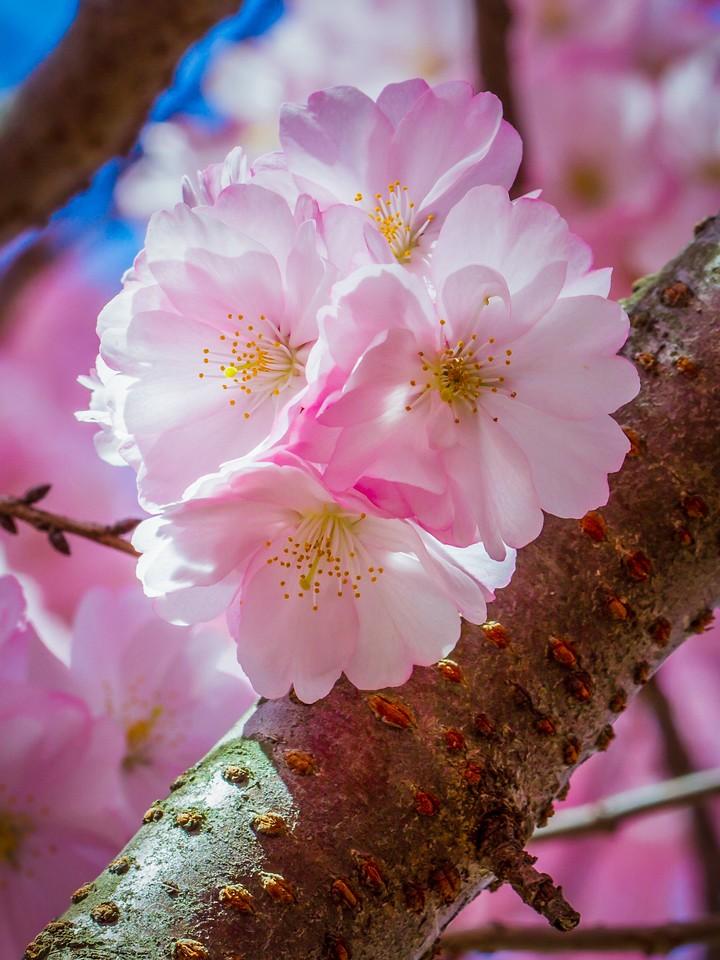 樱花,早春三月_图1-6
