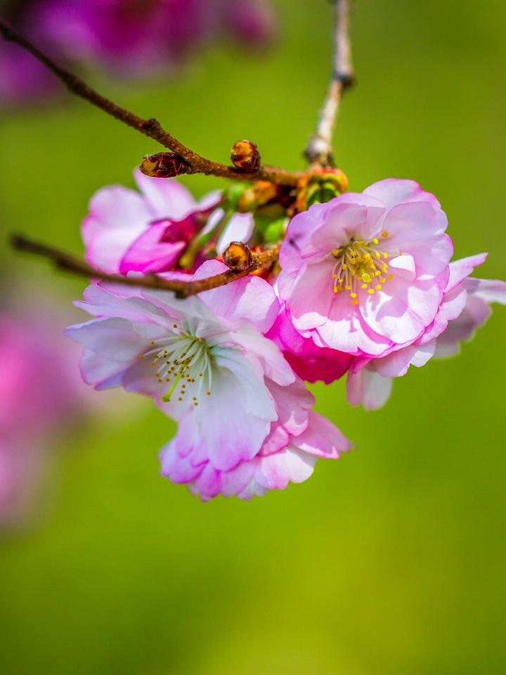 樱花,早春三月_图1-5