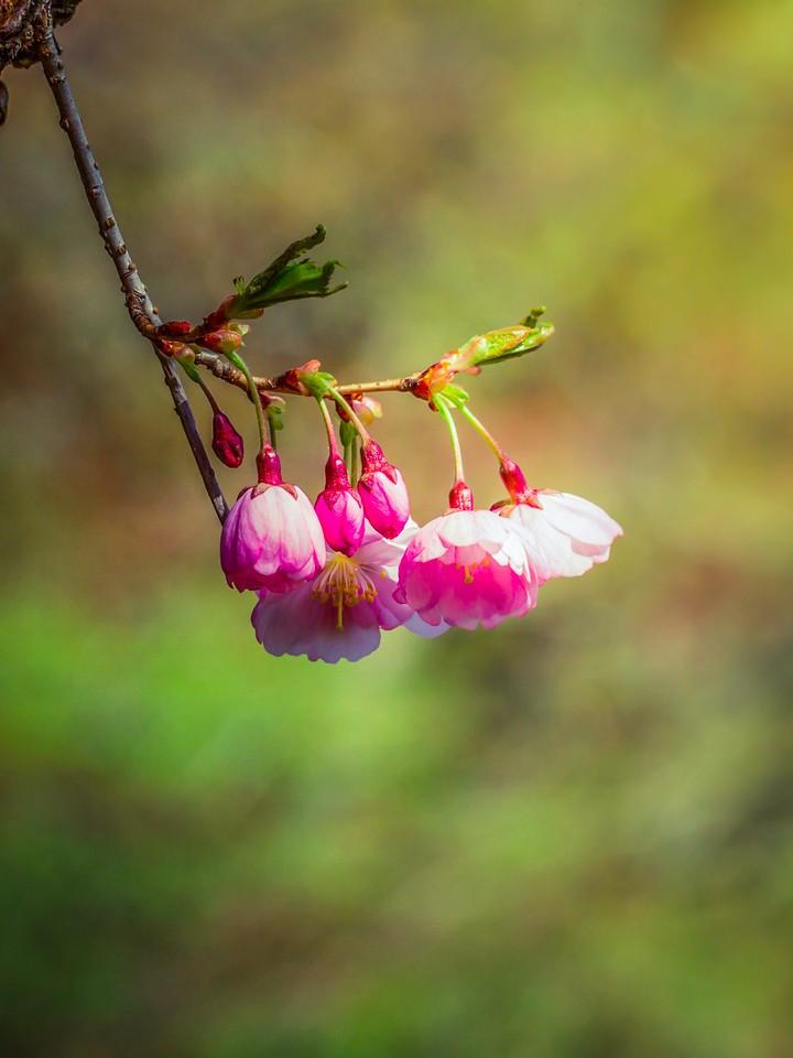 樱花,早春三月_图1-2
