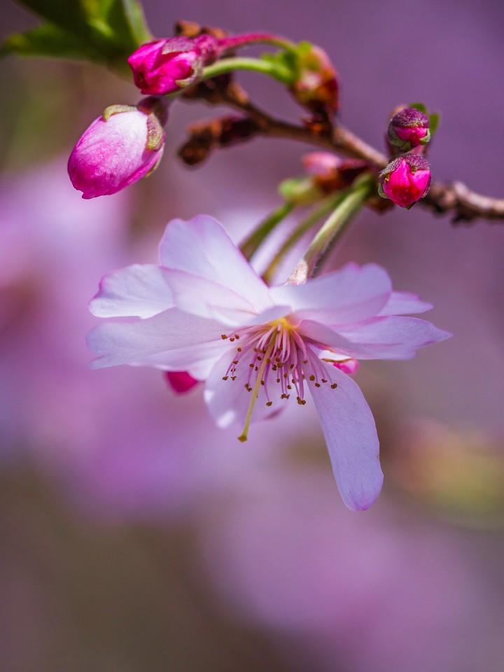 樱花,早春三月_图1-1