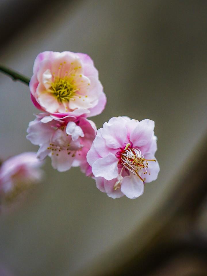 樱花,早春三月_图1-3