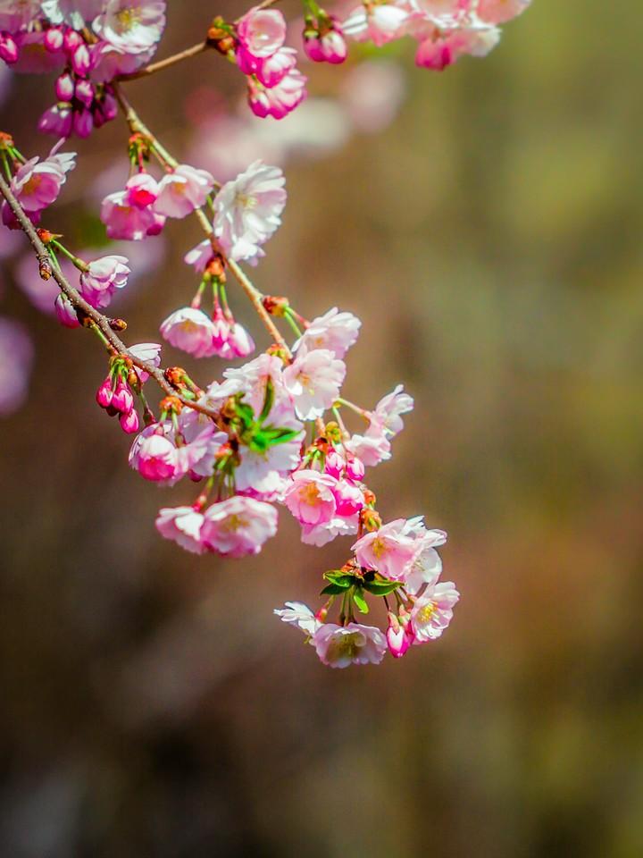 樱花,早春三月_图1-29
