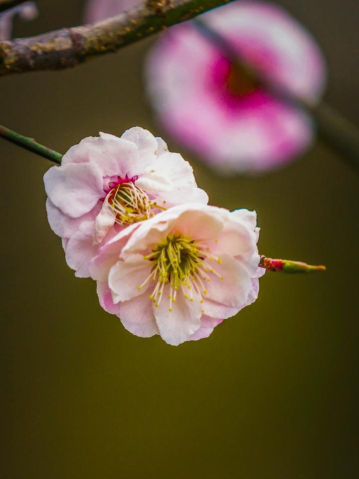 樱花,早春三月_图1-30