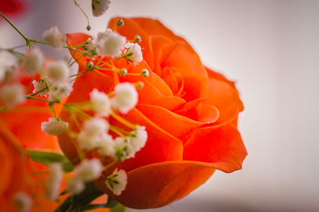 玫瑰花,母亲节最爱_图1-12