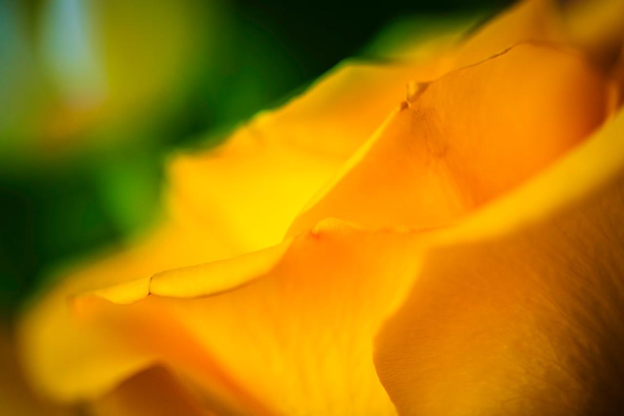 玫瑰花,母亲节最爱_图1-10