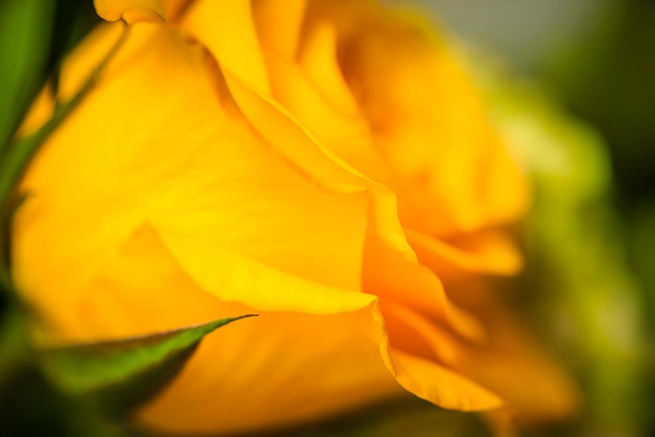 玫瑰花,母亲节最爱_图1-2